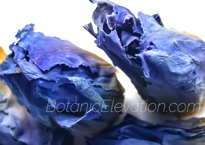 Blue Lotus 3 (watermarked)
