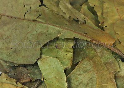 Chaliponga (Diplopterys Cabrerana) 3 Close-Up
