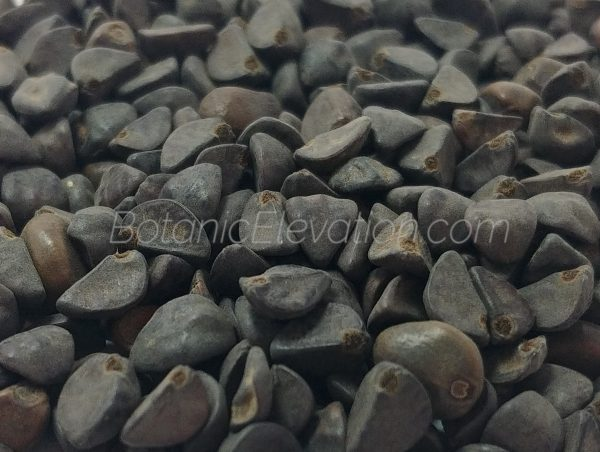 Morning Glory Seeds Close-Up 3 (watermarked)