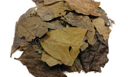 Ilex Guayusa Leaf 1 BE