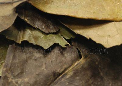 Ilex Guayusa Leaf 2 Close-Up BE
