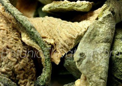 San Pedro Cactus (Huachuma) 2 BE